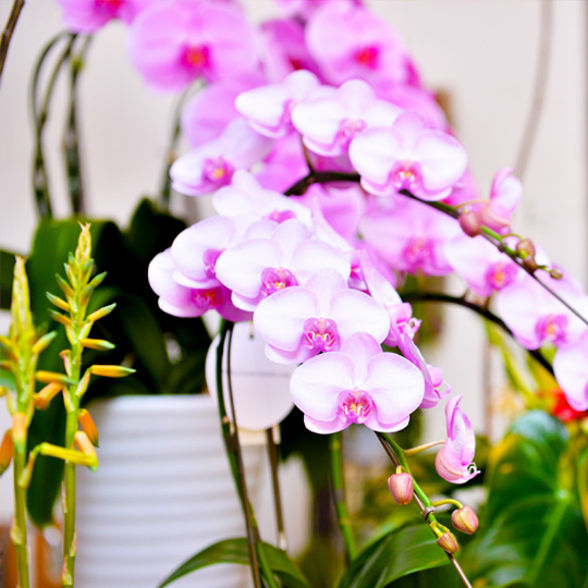 スタンド花,胡蝶蘭